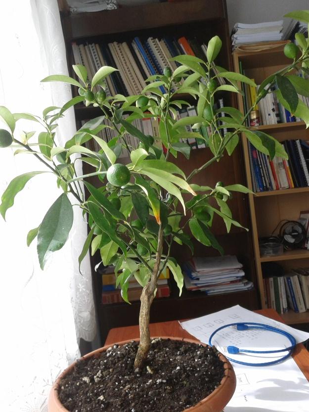 Odamda Limon Ağacı